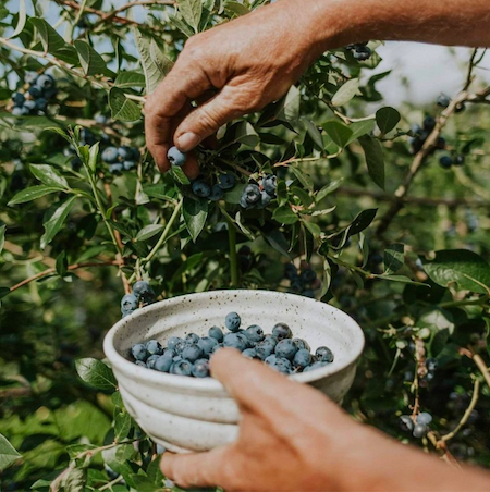 BCBC - Grower Picking Fresh Blueberries - @thefraservalley @tourismchilliwack @chilliwackblueberries