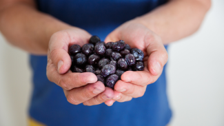 BC Blueberries - Hands Holding Frozen Blueberries